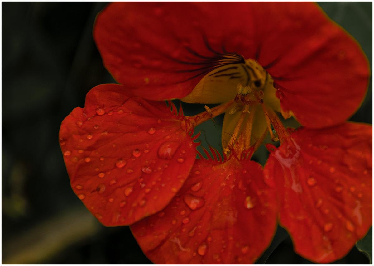 Цветы настурция картинки 4